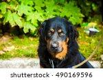 Greek Shepherd Dog At The Park