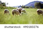 Sheeps And Lambs On The Green...