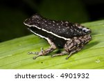 Small photo of Pale striped Amazonian poison frog (Ameerega hahneli)