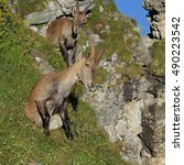 Small photo of Sitting female alpine ibex