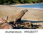 komodo dragon having meal on...   Shutterstock . vector #49028377