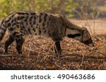 Small photo of african civet mammal kruger national park