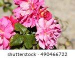 rosa 'miss behavin'  cultivar... | Shutterstock . vector #490466722