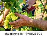 wine harvesting   old farmers... | Shutterstock . vector #490529806