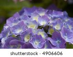 close up of purple hydrangea on ... | Shutterstock . vector #4906606