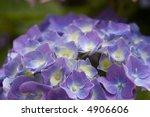 close up of purple hydrangea on ... | Shutterstock . vector #4906606