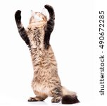 Stock photo black tabby maine coon kitten months old cute young cat standing up on hind legs with front 490672285