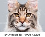 Stock photo portrait of domestic black tabby maine coon kitten months old close up studio photo of striped 490672306