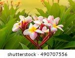plumeria spp.frangipani flowers ... | Shutterstock . vector #490707556