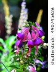 Fuchsia Hybrida Flowers In...