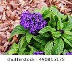 Heliotropium Arborescens  ...