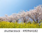 a cherry tree and rape | Shutterstock . vector #490964182