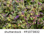 Colorful Coleus With Vivid...
