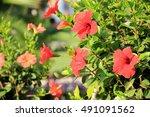 Red Hibiscus In The Garden....