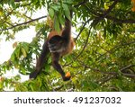 Spider Monkey  Ateles  Eating...