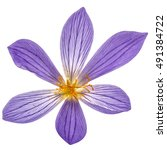 Violet Flower Of Colchicum...