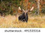 Bull Moose With Huge Antlers ...