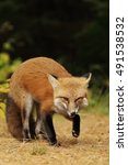 Small photo of Red fox (Vulpes vulpes) chews on pine needles in autumn in Algonquin Park