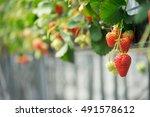 Strawberry In The Farm