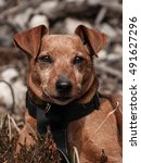 Small photo of Brown Pinscher in the alps