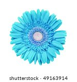 A Bright Blue Daisy Gerbera On...