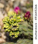 The Flower Of Cane Cholla  Or...