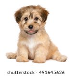 Stock photo cute havanese puppy dog is sitting frontal and looking at camera isolated on white background 491645626
