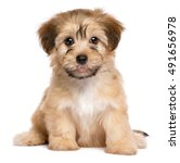 Cute Havanese Puppy Dog Is...