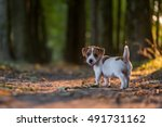 Stock photo jack russel puppy on autumn alley 491731162