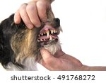Small photo of Dental Check - Jack russell terrier