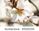 almond white flowers with the... | Shutterstock . vector #49202254