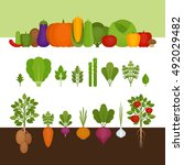 vegetables collection. organic... | Shutterstock .eps vector #492029482