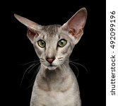 close up portrait of peterbald... | Shutterstock . vector #492099196