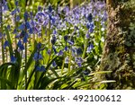 Closeup Of Common Bluebells In...