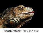 Close Up Head Of Green Iguana...