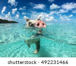 Wild  Swimming Pig On Big...