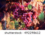 autumn vineyards and organic... | Shutterstock . vector #492298612