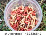 Maggots Of Insects In Red And...