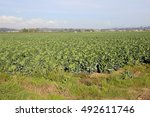 Small photo of Acres of crop comprised of Brussels sprouts will be ready to harvest in a few weeks/Acres of Brussels Sprout Crop/Brussels sprouts will be ready to harvest in a few weeks.