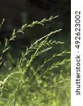 Small photo of Couch Grass (Elymus repens)