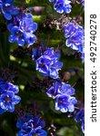 a honey bee on stunning blue... | Shutterstock . vector #492740278