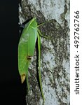 Small photo of Grasshopper, phylliidae, Leaf Insect