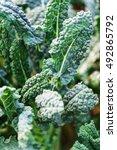 Kale In The Field