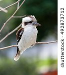 The Laughing Kookaburra Sits O...
