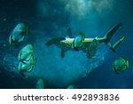 Small photo of Scalloped hammerhead (Sphyrna lewini) and orbicular batfishes (Platax orbicularis).