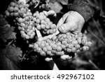 Grapes Harvest. Farmers Hands...