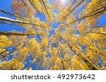Abstract Of Golden Aspen Tree...