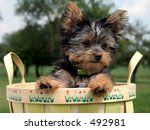 Yorkshire Terrier puppy in an apple basket - stock photo