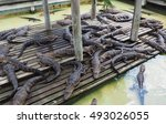 Many Baby Alligators In Water...