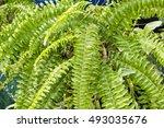 Fern  Nephrolepis   Green...
